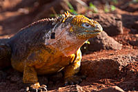 The very colorful Galapagos land iguana Conolophus subcristatus in the Galapagos Island Archipeligo, Ecuador MORE INFO: This large land iguana is ende...
