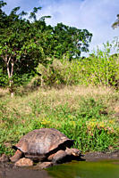 Wild Galapagos giant tortoise Geochelone elephantopus feeding on fallen passion fruit on the upslope grasslands of Santa Cruz Island in the Galapagos ...