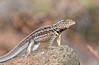 Lava lizard Microlophus spp in the Galapagos Island Archipeligo, Ecuador Many of the islands within the Galapagos Island Archipeligo have their own en...