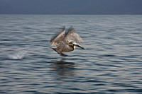 Brown pelican Pelecanus occidentalis in the Gulf of California Sea of Cortez, Baja California Norte, Mexico