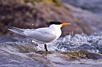 Elegant terns Sterna elegans nesting on Isla Rasa in the middle Gulf of California Sea of Cortez, Mexico About 95 of the world´s population of elegant...
