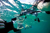 Adult Galapagos penguin Spheniscus mendiculus hunting fish underwater in the Galapagos Island Group, Ecuador This is the only species of penguin in th...