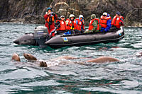 Curious northern Steller sea lion Eumetopias jubatus colony in Inian Pass near Cross Sound, southeastern Alaska These animals are excited by the incom...