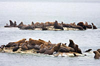 Northern Steller sea lion Eumetopias jubatus colony on the South Marble Islands inside Glacier Bay National Park, southeastern Alaska This is the seco...