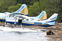 Curious brown bear Ursus arctos near float planes at the Brooks River in Katmai National Park near Bristol Bay, Alaska, USA Pacific Ocean The normal r...