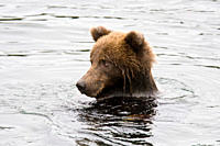 Adult brown bear Ursus arctos foraging for dying sockeye salmon at the Brooks River in Katmai National Park near Bristol Bay, Alaska, USA Pacific Ocea...