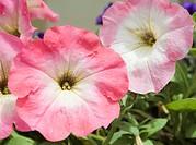 Petunias Petunia x hybrida at the Botanical Gardens Sapporo Hokkaido Japan, Asia