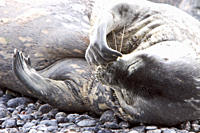 Weddell Seal Leptonychotes weddellii hauled out on the beach at Brown Bluff on the Antarctic Peninsula, southern Ocean This is the most southerly bree...