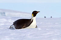 Adult emperor penguin Aptenodytes forsteri on sea ice near Snow Hill Island in the Weddell Sea, Antarctica MORE INFO The emperor is the tallest and he...