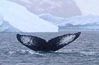 Humpback whale Megaptera novaeangliae flukes_up dive near the Antarctic Peninsula, Antarctica, Southern Ocean MORE INFO Humpbacks feed only in summer,...