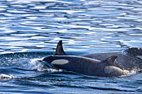 A large pod of 25 to 45 Type B killer whales Orcinus nanus in Paradise Bay at 648 48 6S 638 02 6W, Antarctica, Southern Ocean MORE INFO These animals ...