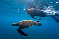 Snorkeler with adult green sea turtle Chelonia mydas in the protected marine sanctuary at Honolua Bay on the northwest side of the island of Maui, Haw...