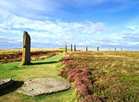 RING OF BRODGAR ORKNEY Purple heather and standing stones
