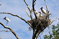 Jabiru stork, Jabiru mycteria, nest with several young, Fazenda San Francisco, Miranda, Mato Grosso do Sul, Brazil