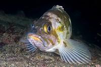 Copper Rockfish Sebastes caurinus
