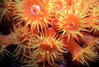 Soft cup corals Micronesia
