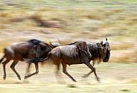 Wildebeests in Action