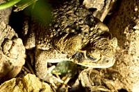 A cane toad, also called Marine Toad or Giant Toad  Scientific name is Bufo marinus from the Bufonidae family  Seen here in Darwin, Northern Territory...