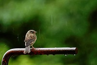 Young Dunnock, Hedge Sparrow or Accentor, Prunella modularis in Summer rain, Wales