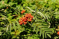 Sorbus aucuparia, Rowan berries