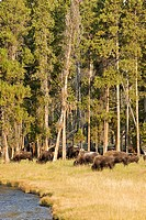 Bison with trees with river in Yellowstone National Park