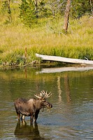 Moose standing in a river eating water plants in Yellowstone National Park