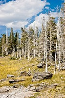 Outdoor landscape with dead trees in Yellowstone National Park