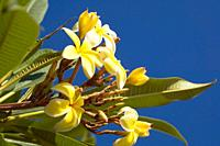Yellow Frangipani flowers and buds from the genus Plumeria