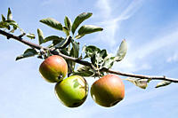 Three apples growing on tree branch