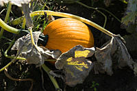 Pumpkin growing in field