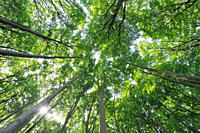 Mecklenburg_Western Pomerania, Ground view of beech trees in forest