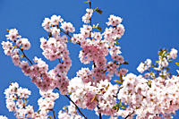 Germany, Japanese cherry tree
