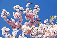 Germany, Japanese cherry tree