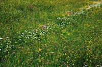 Germany, Bavaria, meadow with wild flowers
