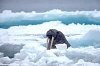 Walrus, Odobenus rosmarus, swimming in Arctic Sea between ice floes, Spitsbergen, Svalbard