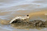 Mudskipper, Periophthalmus sp , climbing out of the water, The Gambia