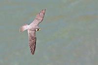 Peregrine Falcon Falco peregrinus flying