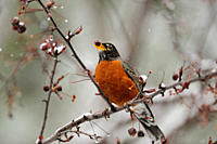 American robin Turdus migratorius Eating crabapple in spring snowstorm