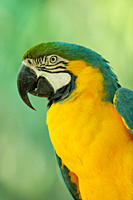 Blue and gold macaw Ara ararauna, St. Augustine Alligator Farm Zoological Park, Florida, United States of America