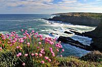 Armeria maritima in Costa Vicentina  Portugal