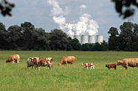 Cows grazing in a field with a power station in the background