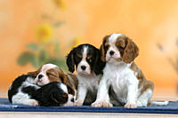 Cavalier, King, Charles, Spaniel, puppies, 7, weeks