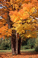 Sugar, Maple, in, autumn, New, Hampshire, USA, Acer, saccharum