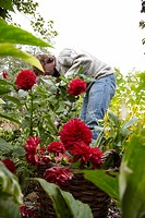 Gardener cutting dahlias