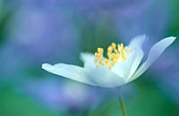 Wood, Anemone, Germany,Anemone, nemorosa