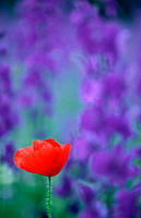 Common, Poppy, and, Larkspur, Bulgaria,Papaver, rhoeas, Delphinium, spec