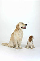 Golden, Retriever, and, Cavalier, King, Charles, Spaniel