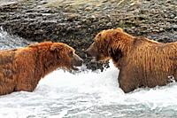 Alaska , Katmai National Park and Preserve , McNeil River Bear Viewing and Wildlife Sanctuary , falls of the Mc Neil river , Grizzly bear  Ursus arcto...