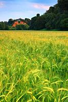 A wheat field with Blackstone Rock in the background, Bewdley, Worcestershire, England