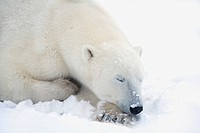 Polar Bear Ursus Maritimus Has His Eyes Closed During A Very Peaceful Sleep, Churchill, Manitoba, Canada